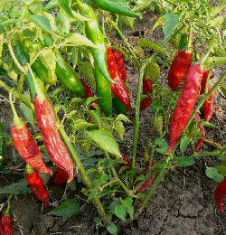 Ideal for Cooking Archives - The Chilli Pepper Co